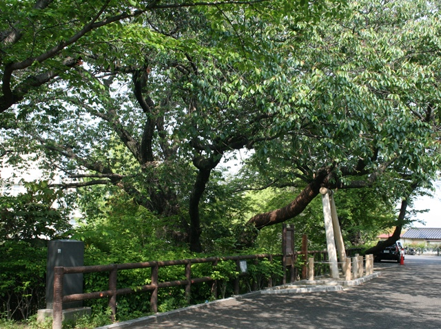 IMG_5724 広島江波山桜 W