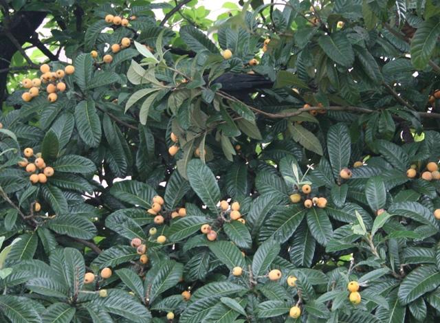 IMG_6462 ビワの木にカラス W