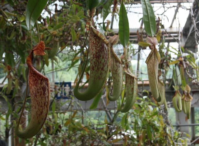 IMG_6546 食虫植物 W