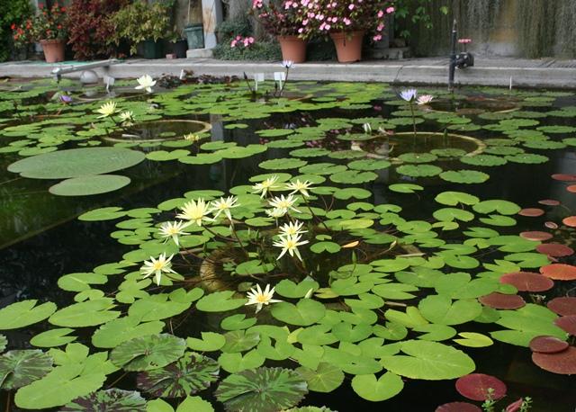 IMG_6568 睡蓮の池 W