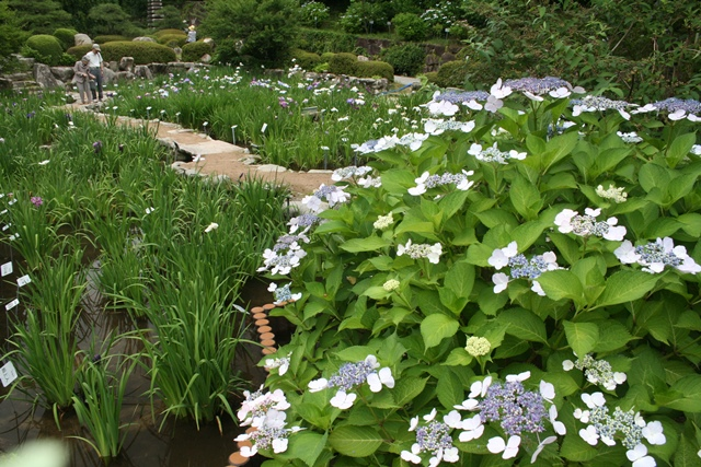 IMG_6626 花ショウブの池 W