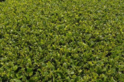 茶の葉の美しさ