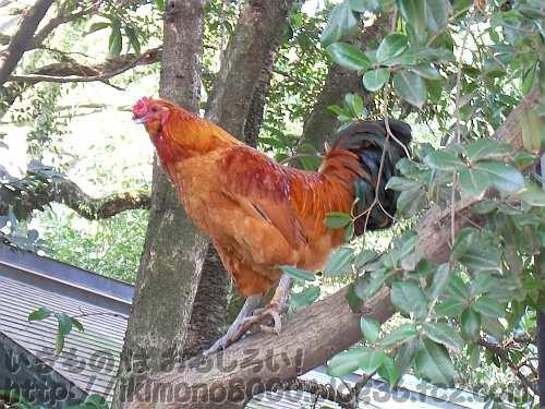 「鶏始乳」ころの名古屋の熱田神宮の野良鶏