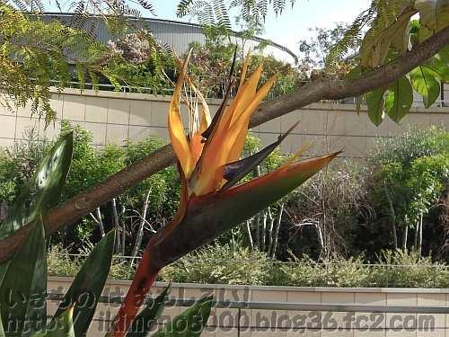8階で咲いている極楽鳥花(ストレリチア)