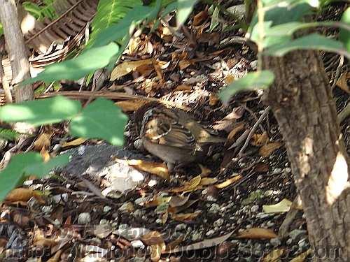 日陰の落ち葉の上では保護色のスズメ