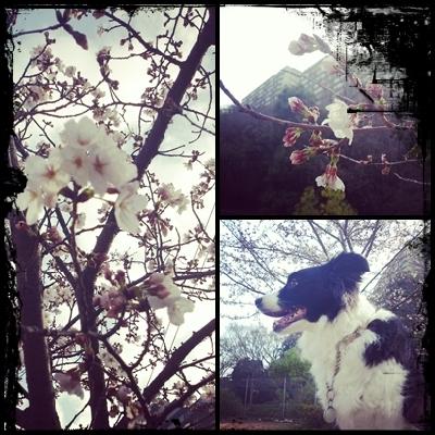 桜は食べれますか~