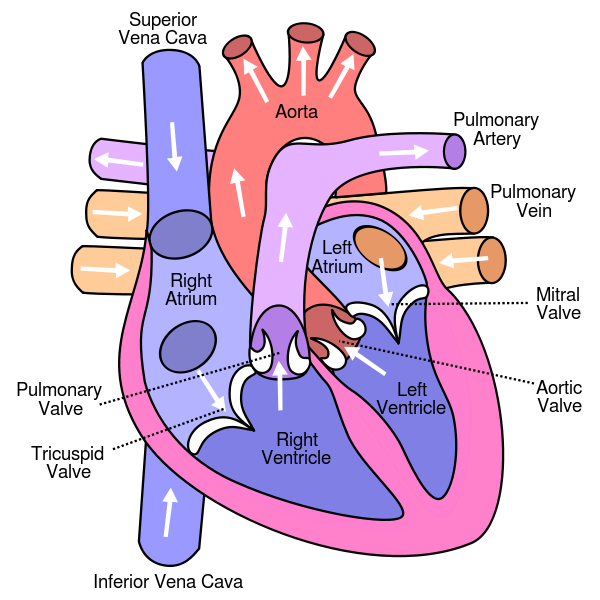 Diagram_of_the_human_heart.png
