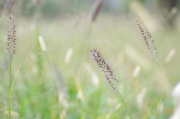 このねこじゃらしみたいな草は何?