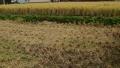 稲刈り Bチーム側から撮影
