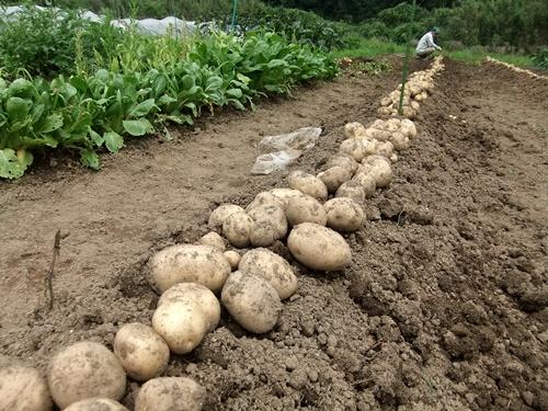 2013.6.24 ジャガイモ収穫(伊藤農園) 006