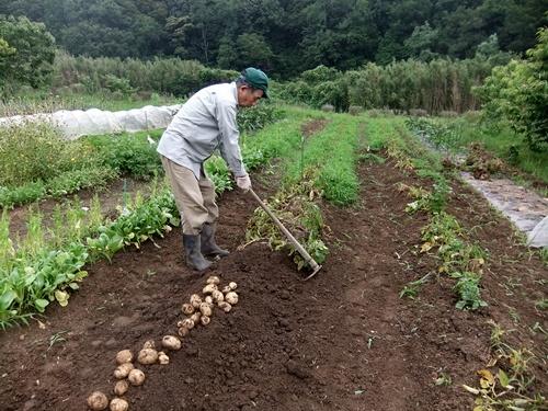 2013.6.24 ジャガイモ収穫(伊藤農園) 001