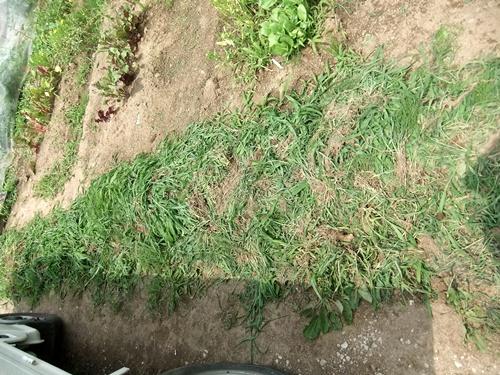2013.6.24 ジャガイモ収穫(伊藤農園) 009