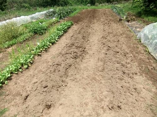 2013.6.24 ジャガイモ収穫(伊藤農園) 008