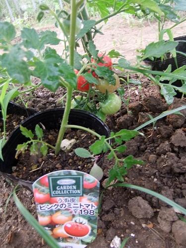 2013.6.25 ミニトマト(伊藤農園) 010 (3)