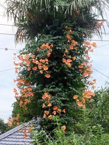 2013.7.15 夏の庭(のうぜんかずらほか) 038 (1)