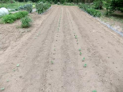 2013.7.22 夏野菜(大豆は種ほか) 019 (5)