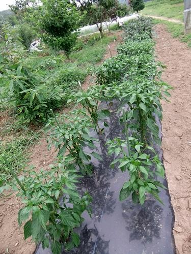 2013.7.22 夏野菜(大豆は種ほか) 019 (2)