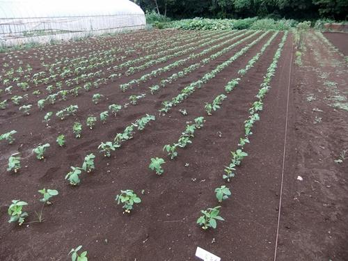 2013.7.24 ファーマーズ大豆(林農園) 003