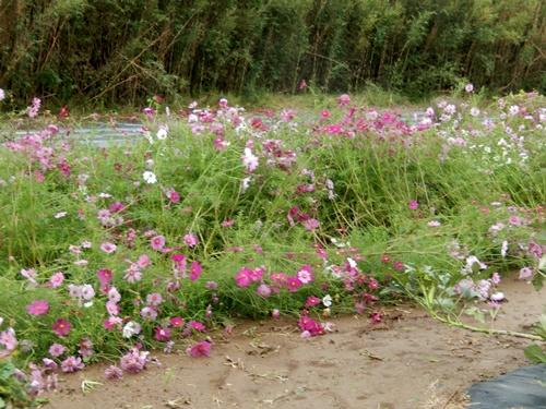 2013.10.21 ママさんの畑(台風後) 005 (1)