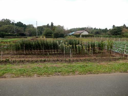 2013.11.2 矢那の畑(市営霊園近く) 001 (12)
