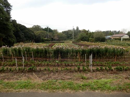 2013.11.2 矢那の畑(市営霊園近く) 001 (10)
