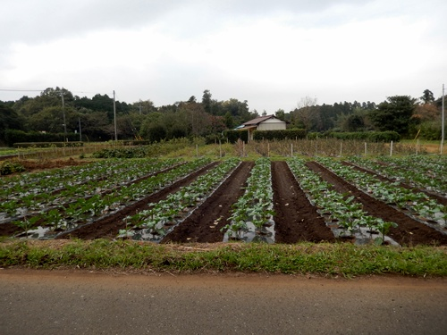 2013.11.2 矢那の畑(市営霊園近く) 001 (11)