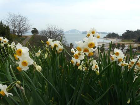大角海浜公園 水仙 7
