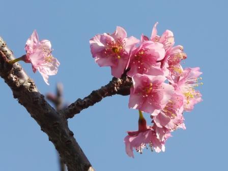 野間馬ハイランド 河津桜 1