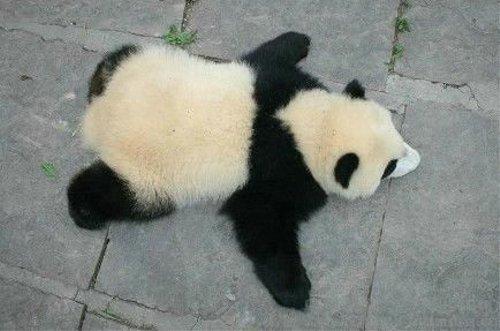 グデングデンにだらけきったパンダ・・・