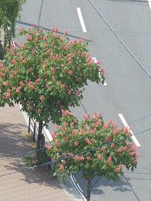 紅花トチの木