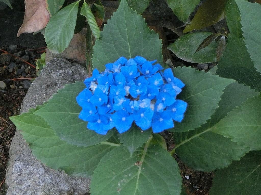 鴨川花園アジサイ 240