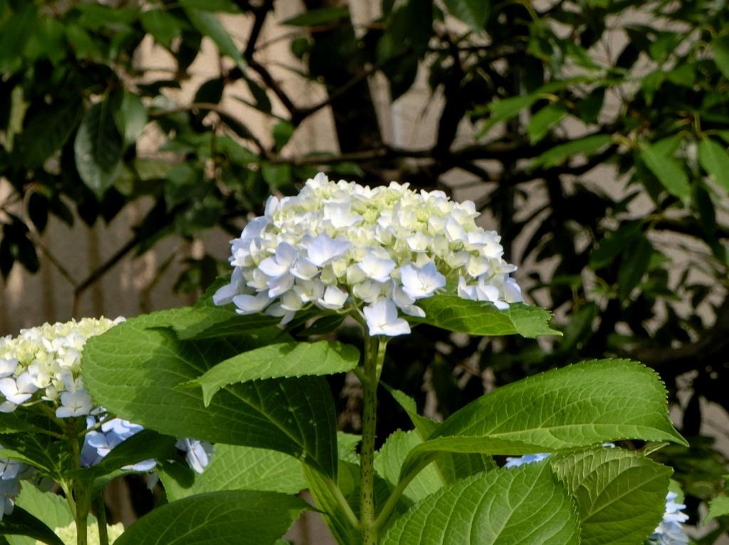 鴨川花園アジサイ 167