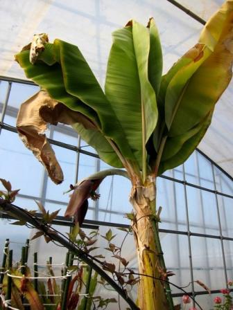 誰かが持余して持ち込んだバナナ