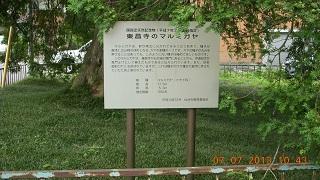 東昌寺のマルミガヤ