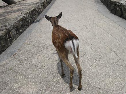 2013広島旅行:宮島 鹿