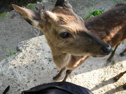 2013広島旅行:宮島 鹿④