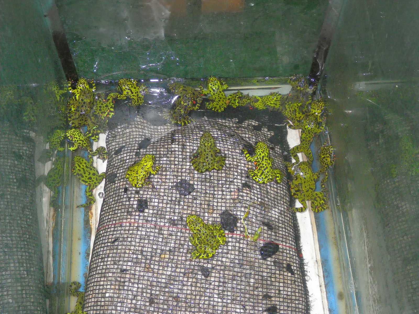 무당개구리(ムーダンゲグリ 和名チョウセンスズガエル Bombina orientalis)