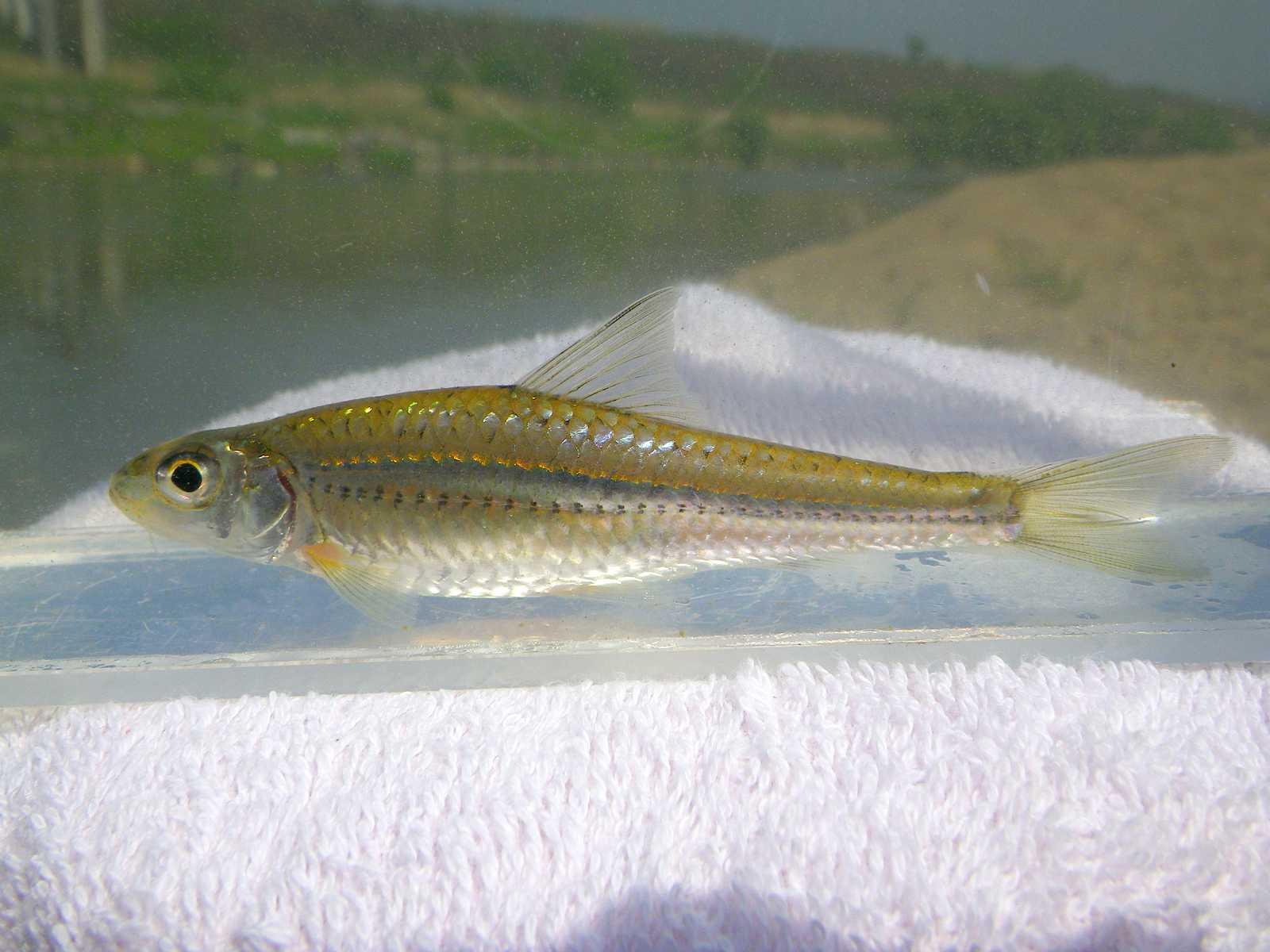 참몰개(チャムモルゲェ 和名コウライモロコ Squalidus chankaensis tsuchigae)