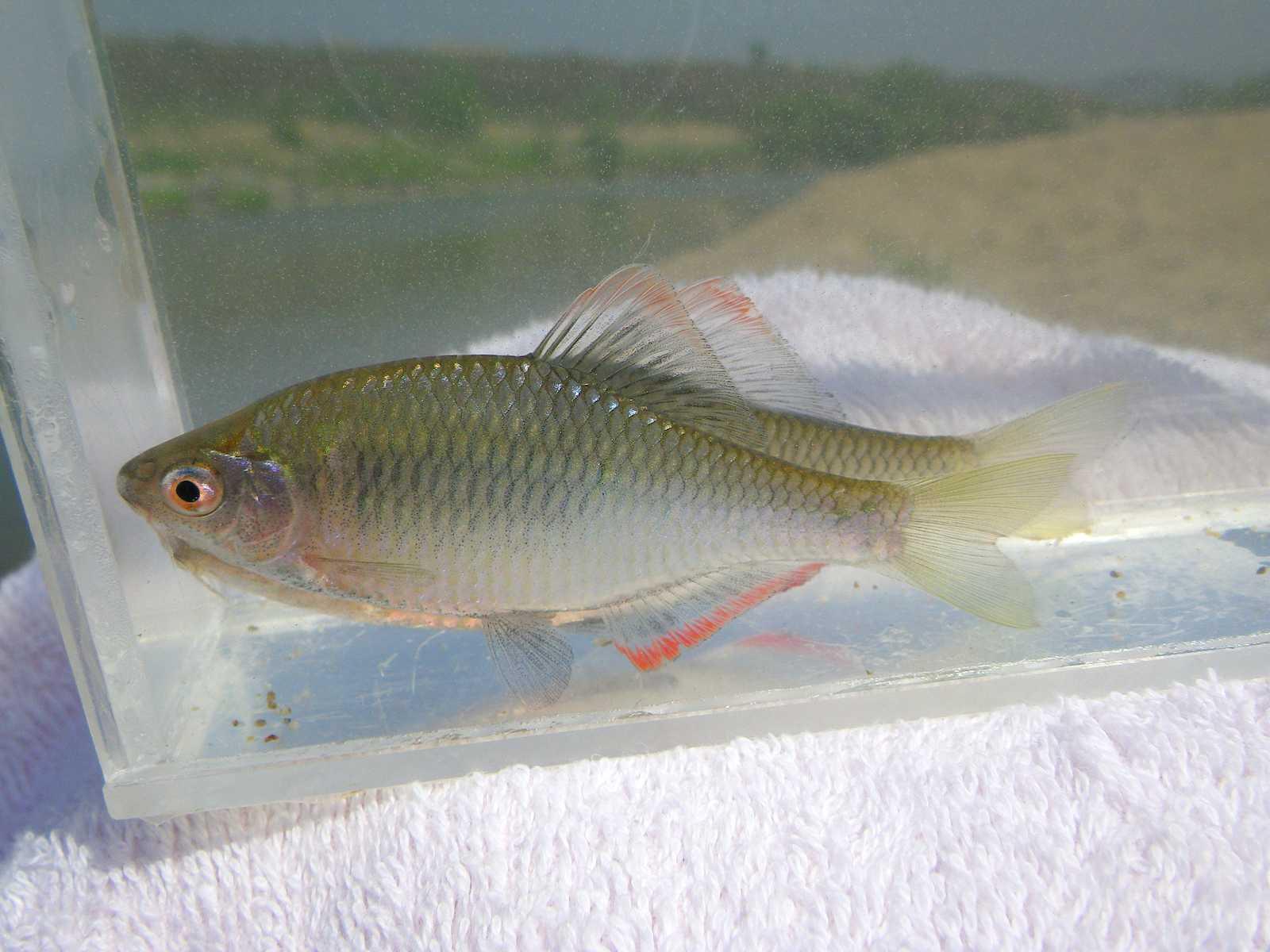 납자루(ナプジャールー 和名ヤリタナゴ Acheilognathus lanceolatus → Tanakia lanceolata)