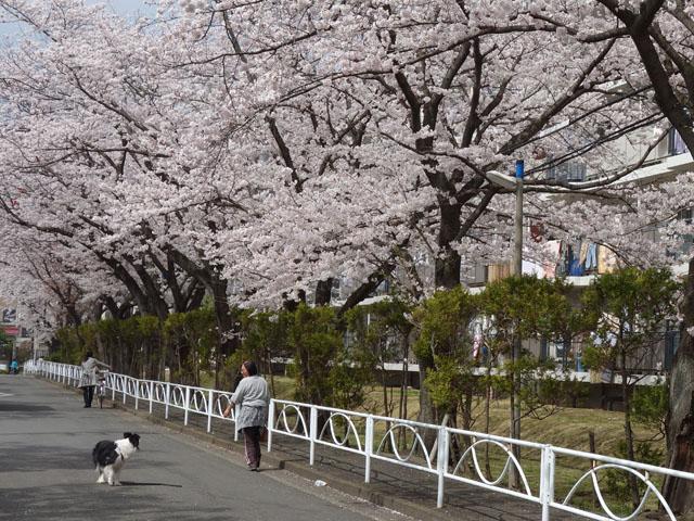 学校のそばの桜