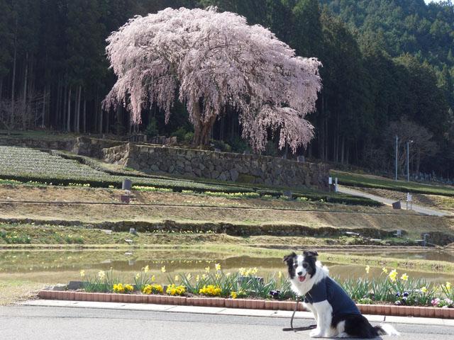 水戸野の枝垂れ桜