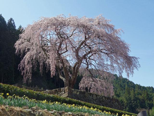 水仙とお茶と枝垂れ桜