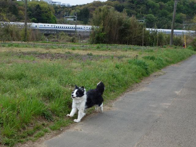 久しぶりに新幹線と競争