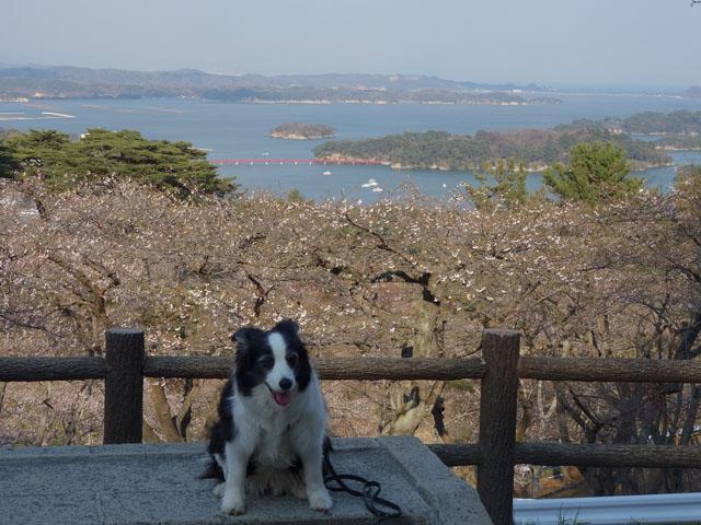 西行戻り松からの松島