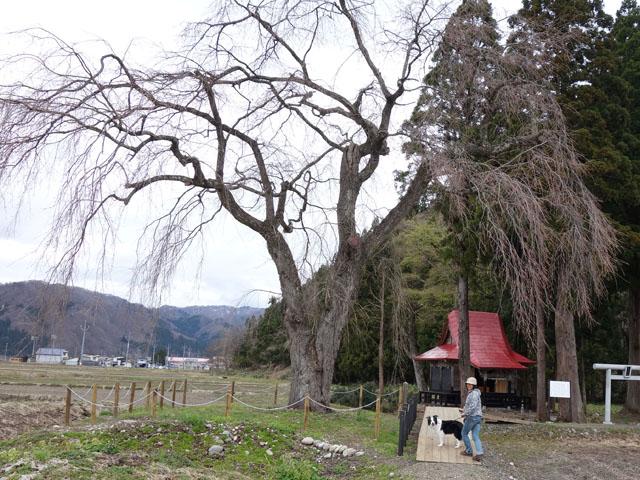 しらす枝垂れ桜