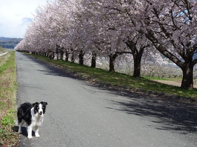 長く続く桜並木