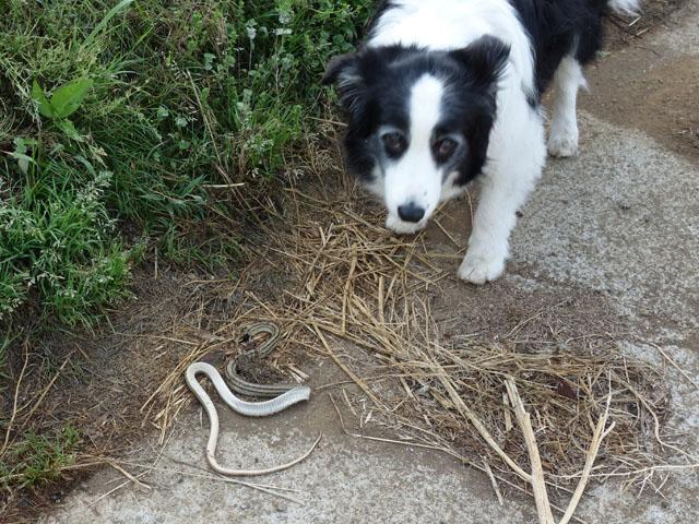 ヘビが死んでいる