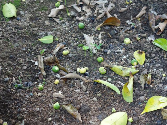 落ちた柚子の実
