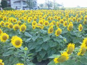 なぎさ公園向日葵