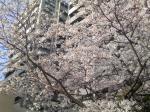 鶴邸近くの満開桜